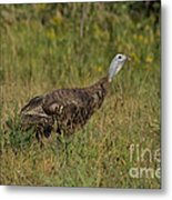Eastern Wild Turkey Metal Print by Linda Freshwaters Arndt