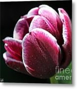 Triumph Tulip Named Jackpot Metal Print by J McCombie