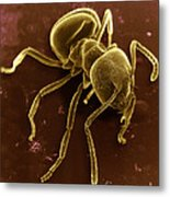Ant Metal Print by David M. Phillips
