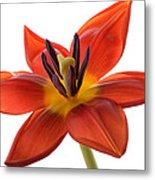 Tulip Metal Print by Mark Johnson