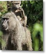 A Monkey And Its Baby Sitting On Her Metal Print by Diane Levit