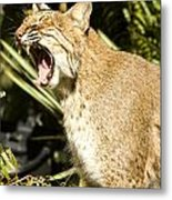 Adult Florida Bobcat Metal Print by Anne Rodkin