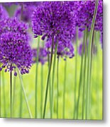 Allium Hollandicum Purple Sensation Flowers Metal Print by Tim Gainey