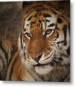 Amur Tiger 4 Metal Print by Ernie Echols
