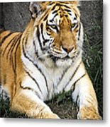 Amur Tiger Metal Print by Adam Romanowicz