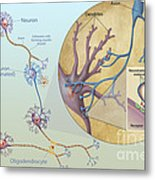 Anatomy Of Neurons Metal Print by Carlyn Iverson