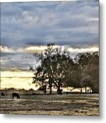 Angus Evening Metal Print by Jan Amiss Photography