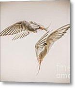 Arctic Tern - Sterna Paradisaea - Pas De Deux -hdr Metal Print by Ian Monk