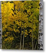 Aspen Light Metal Print by Dave Dilli