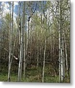 Aspens In The Springtime Metal Print by Shawn Hughes