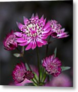 Astrantia Hadspen Blood Flower Metal Print by Tim Gainey