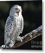 Awakened- Snowy Owl Laughing Metal Print by Inspired Nature Photography Fine Art Photography