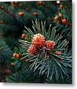 Baby Pinecones Metal Print by Julie Dant