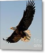 Bald Eagle Flying With Fish In Its Talons Metal Print by Stephen J Krasemann