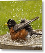 Bathing Robin Metal Print by Inge Riis McDonald