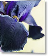 Bearded Iris Interpol Metal Print by Tim Gainey