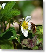 Bee Fly On White Flowers Metal Print by Christina Rollo