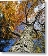 Big Orange Maple Tree Metal Print by Christina Rollo