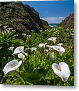 Big Sur Calla Lilies Metal Print by About Light  Images