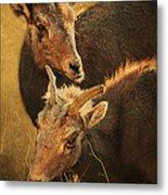 Bighorn Sheep Of The Arkansas River  Metal Print by Priscilla Burgers