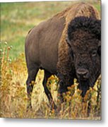 Bison Buffalo Metal Print by National Parks Service