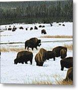 Bison Cows Browsing Metal Print by Kae Cheatham