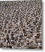 Black-browed Albatross Nesting Colony Metal Print by Art Wolfe