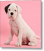 Black Eared White Boxer Puppy Metal Print by Mark Taylor