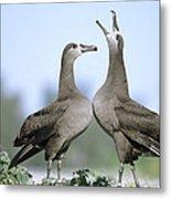 Black-footed Albatross Courtship Dance Metal Print by Tui De Roy