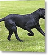 Black Labrador Playing Metal Print by Johan De Meester