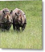 Black Rhinoceros Diceros Bicornis Michaeli In Captivity Metal Print by Matthew Gibson