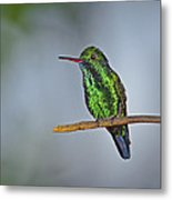 Blue-chinned Sapphire  Metal Print by Tony Beck