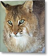 Blue Eyed Bobcat Metal Print by Jennifer  King