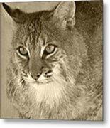 Blue Eyed Bobcat-sepia Metal Print by Jennifer  King