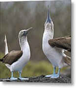 Blue-footed Boobies Courting Galapagos Metal Print by Tui De Roy