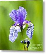 Blue Iris Metal Print by Frank Tschakert