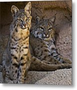 Bobcat 8 Metal Print by Arterra Picture Library