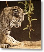 Bobcat Metal Print by James Peterson