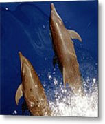 Bottlenose Dolphins Tursiops Truncatus Metal Print by Anonymous