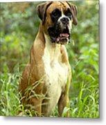 Boxer Dog Metal Print by Jean-Michel Labat