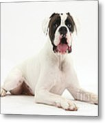 Boxer Dog Metal Print by Mark Taylor