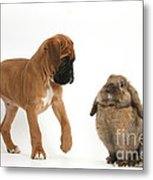 Boxer Puppy With Lionhead-lop Rabbit Metal Print by Mark Taylor