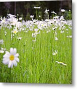 Brilliant Daisies Metal Print by Aaron Aldrich