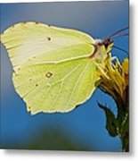 Brimstone Butterfly Metal Print by Science Photo Library