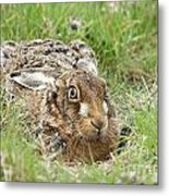 Brown Hare Metal Print by Philip Pound