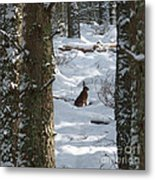 Brown Hare - Snow Wood Metal Print by Phil Banks