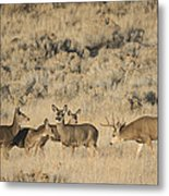 Buck And His Harem Metal Print by Loree Johnson