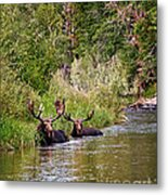 Bull Moose Summertime Spa Metal Print by Timothy Flanigan