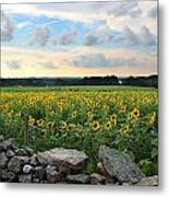 Buttonwood Farm Sunflowers Metal Print by Andrea Galiffi