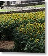 Buttonwood Metal Print by Michelle Welles